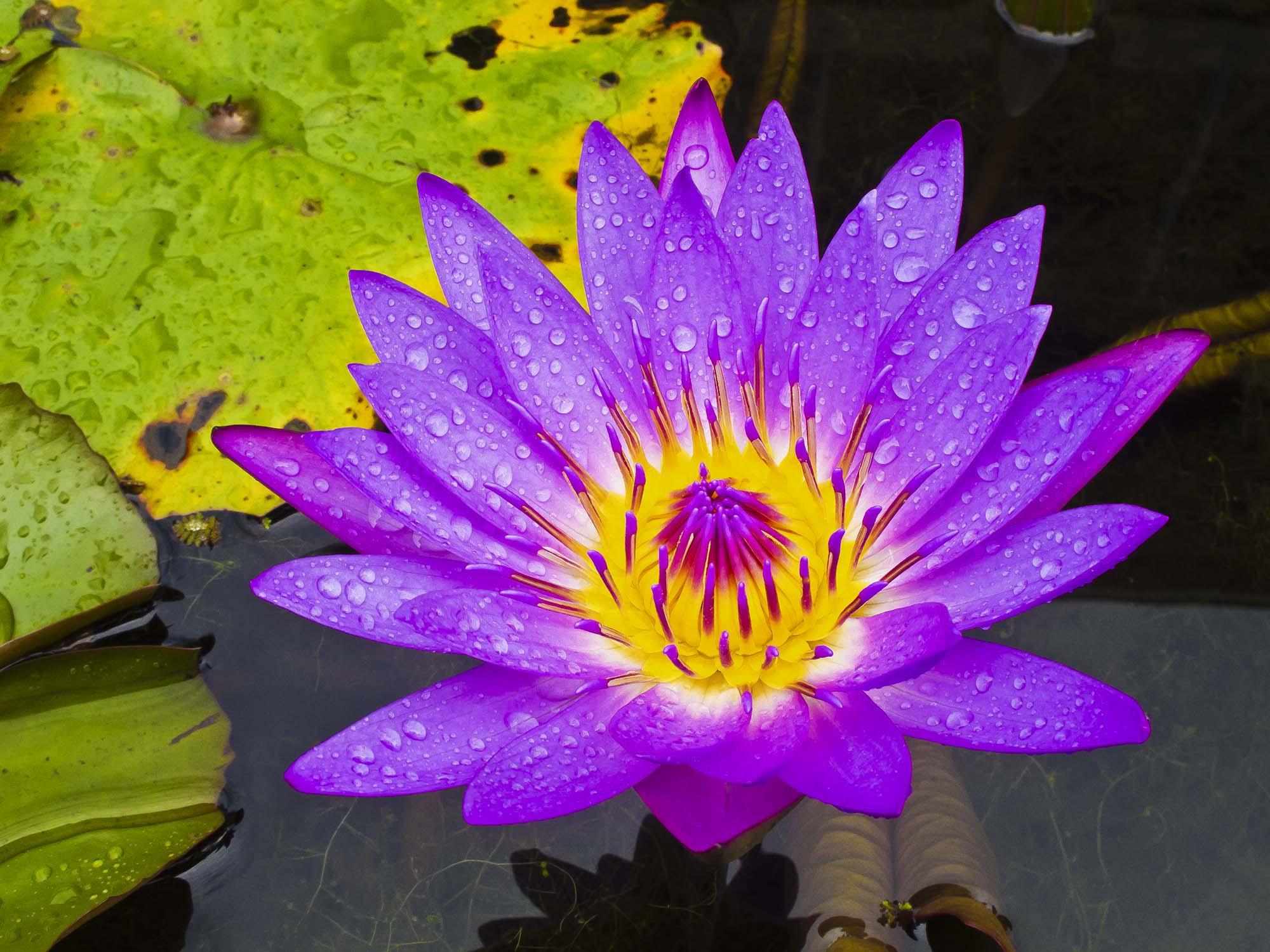 Water Lily Free Hd Wallpapers