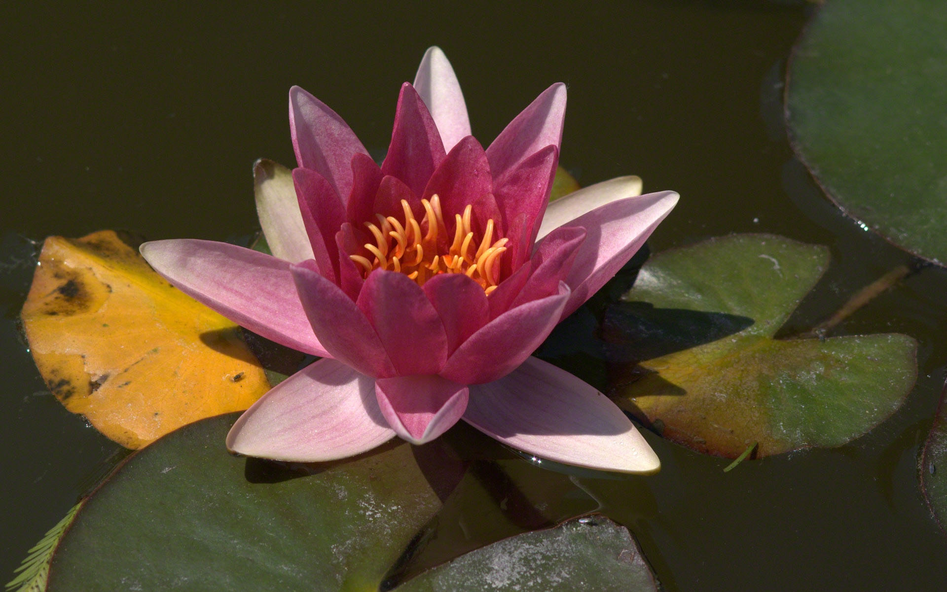 Water Lily High Definition Wallpapers