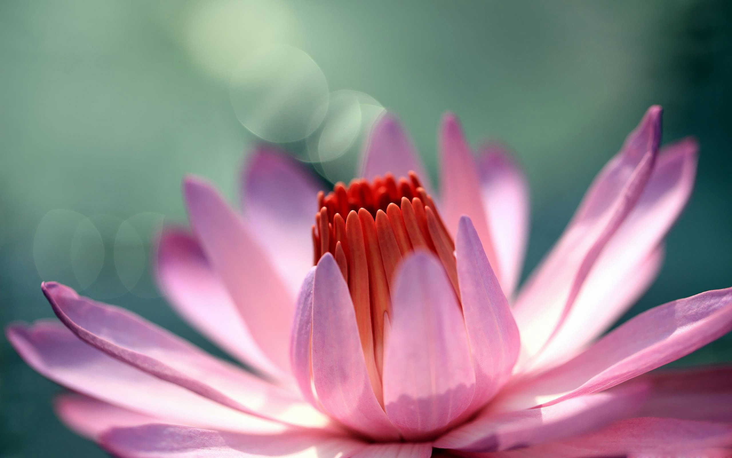 Water Lily High Quality Wallpapers
