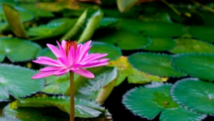 Water Lily Images