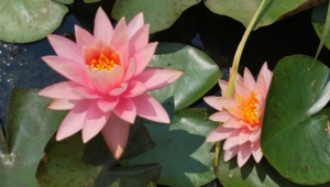 Water Lily Pictures