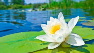 Water Lily Wallpaper For Laptop