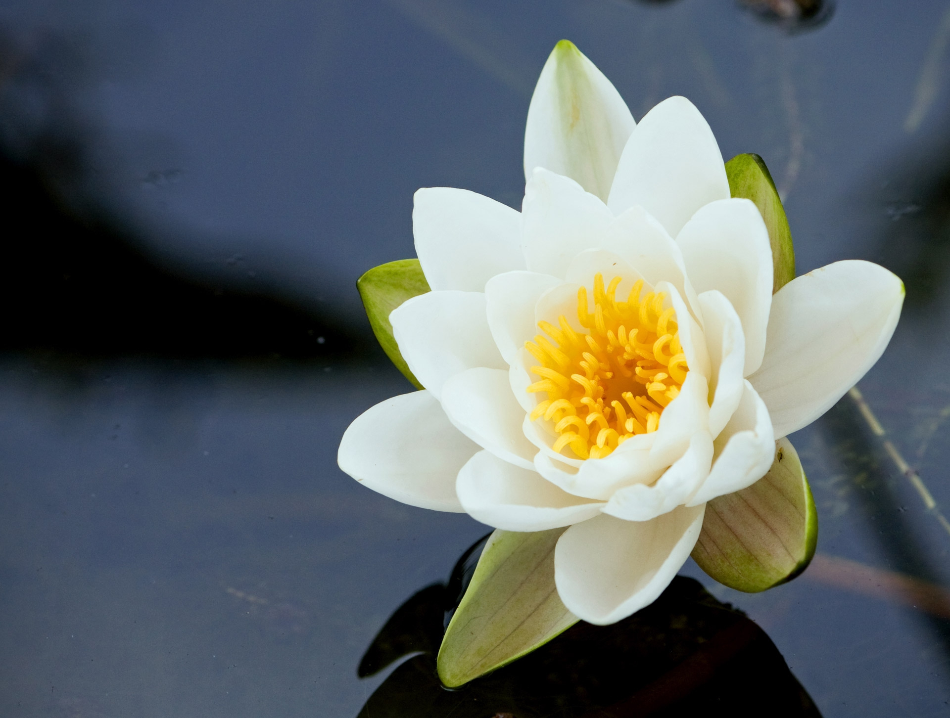 Water Lily Wallpapers Hq