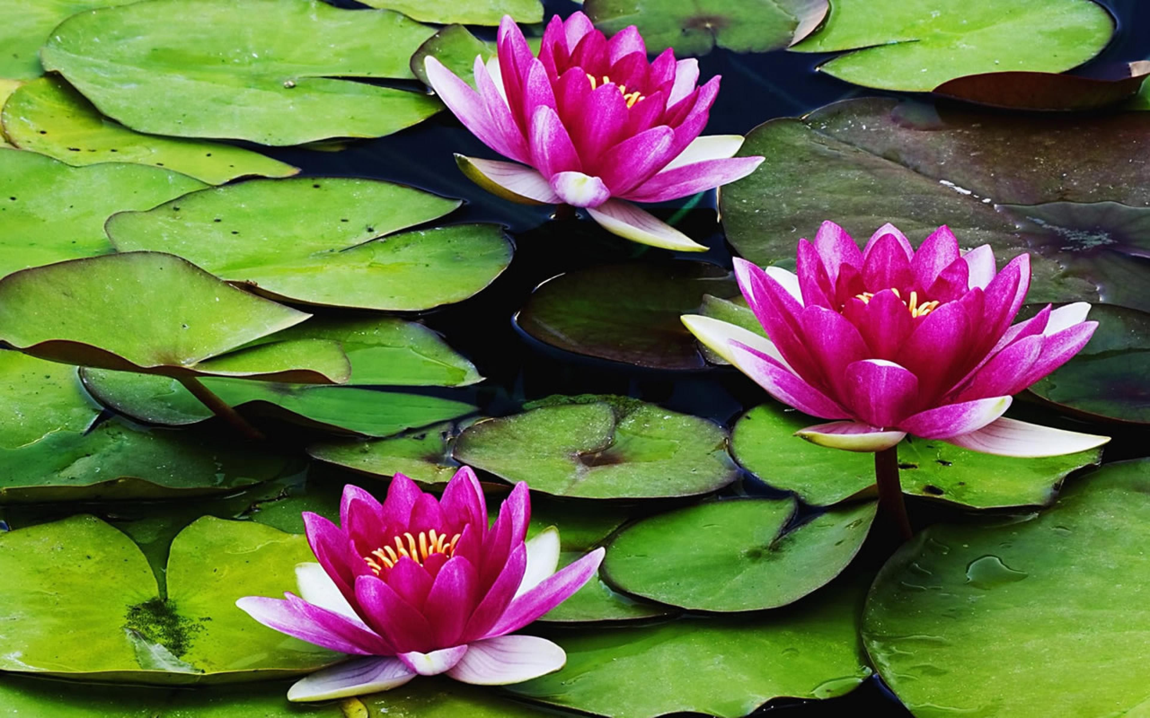 Water Lily Wallpapers And Backgrounds