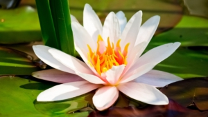 Water Lily Wallpaper For Windows