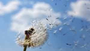 White Dandelion Background