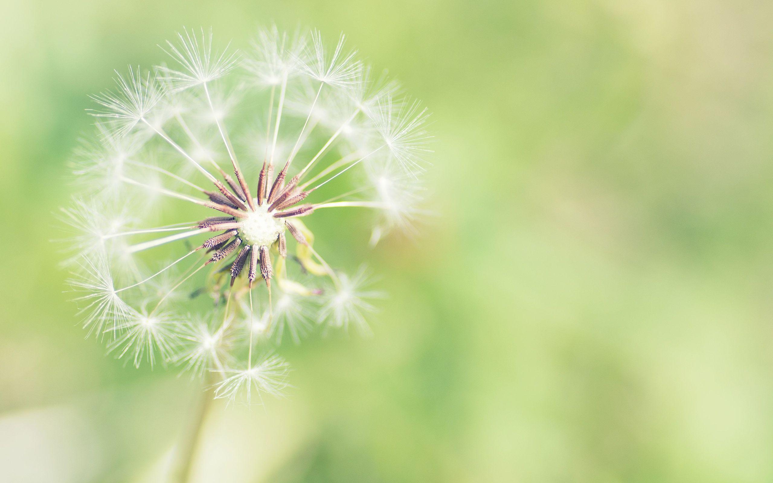 White Dandelion Desktop Images
