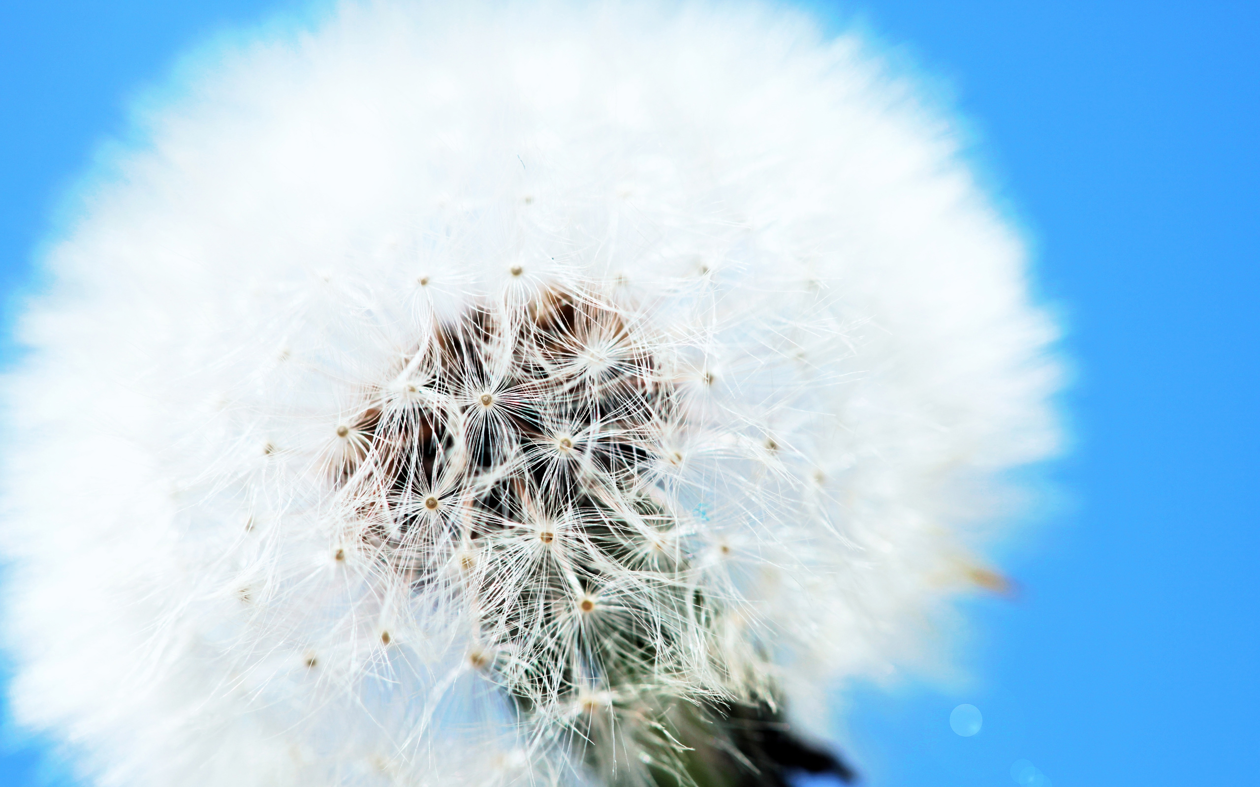 White Dandelion Download Free Backgrounds Hd