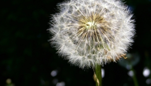 White Dandelion Free Download