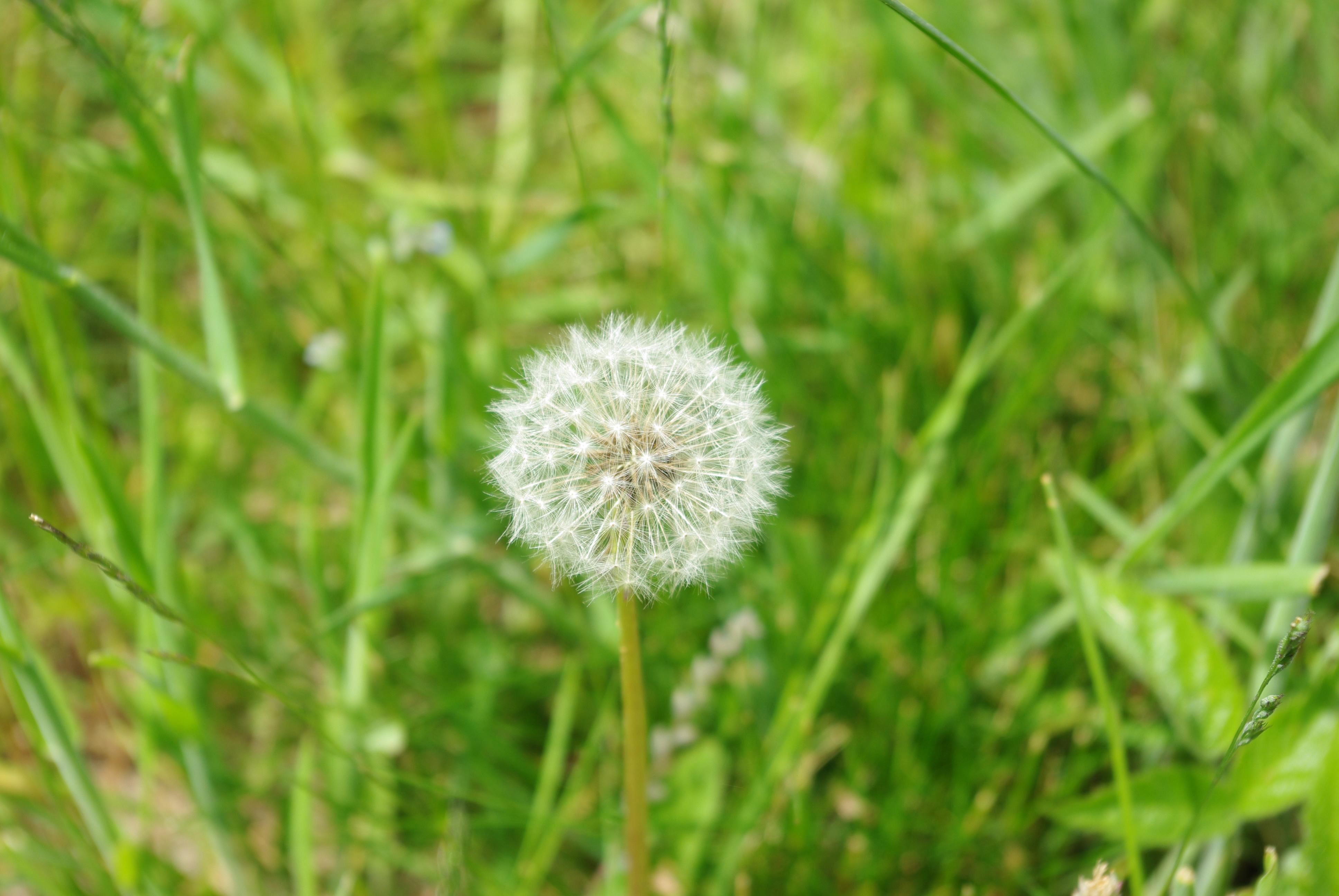 White Dandelion Hd
