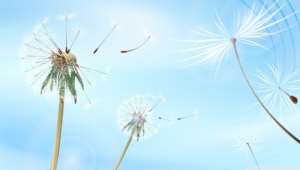 White Dandelion High Definition Wallpapers