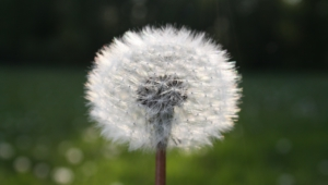 White Dandelion Wallpaper For Computer