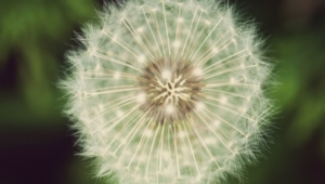 White Dandelion Wallpapers Hq