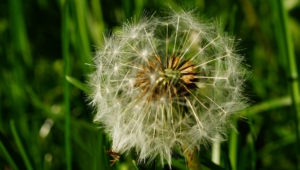 White Dandelion Widescreen