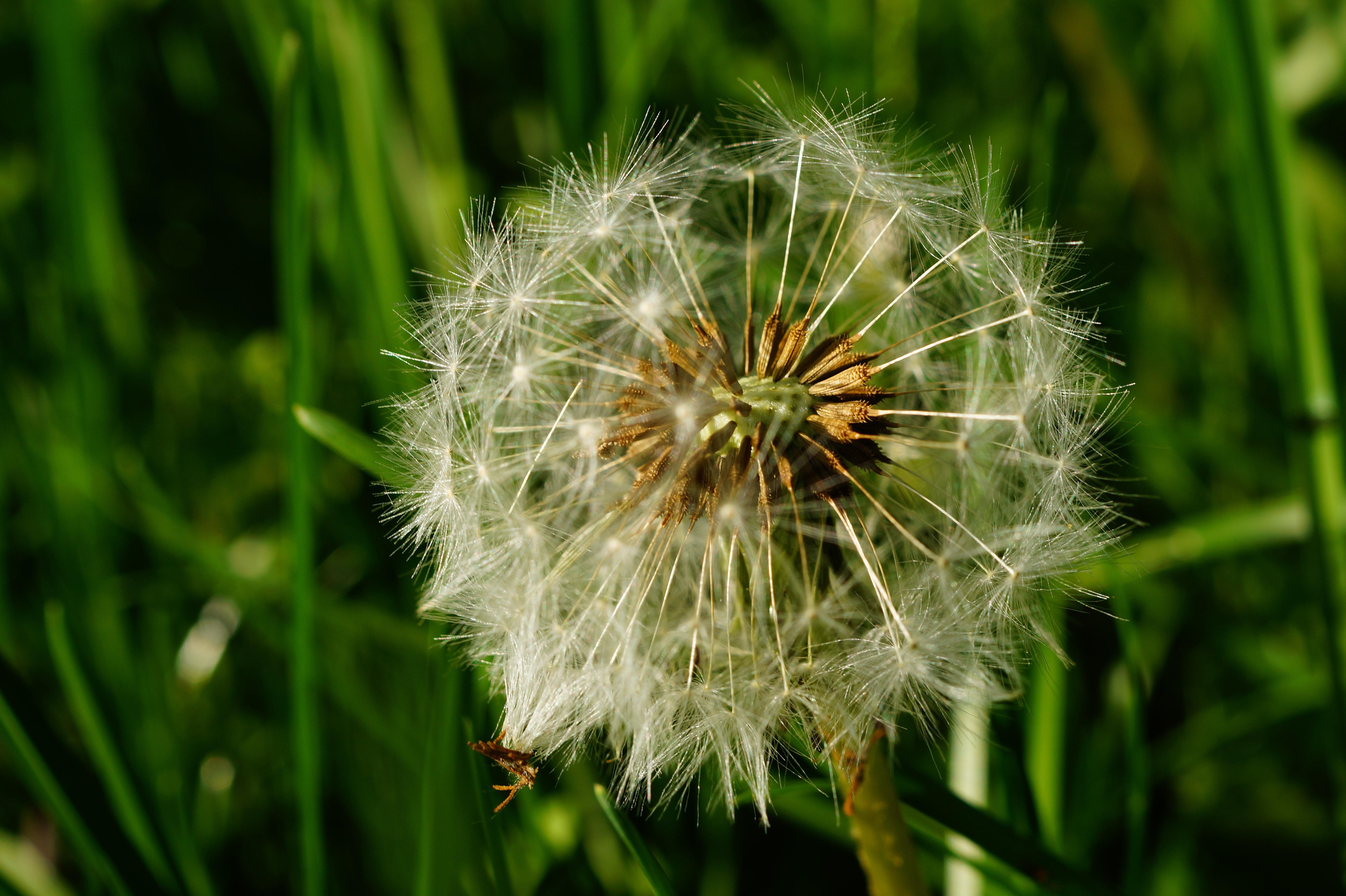 White Dandelion Widescreen