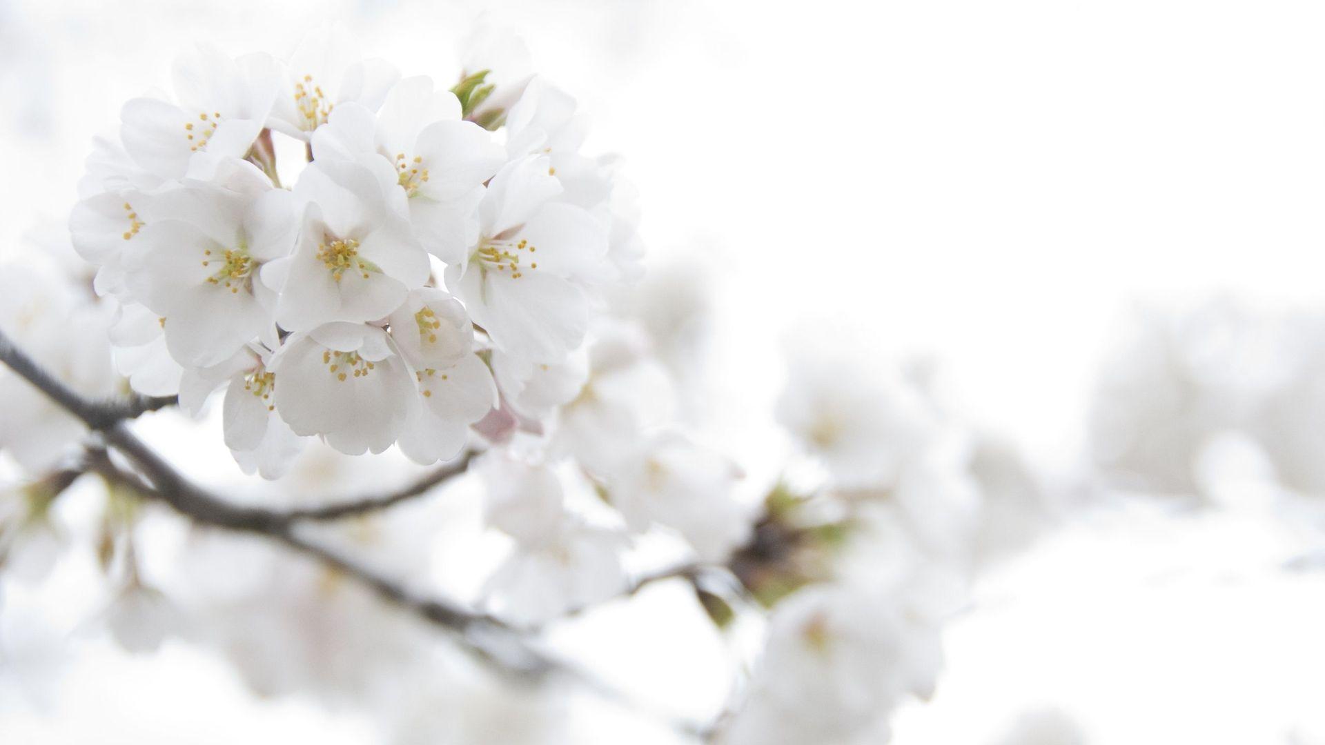 White Flowers Desktop