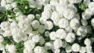 White Flowers Download Free Backgrounds Hd