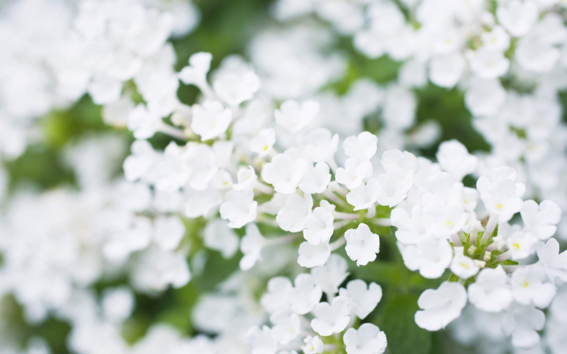 White Flowers Free Download