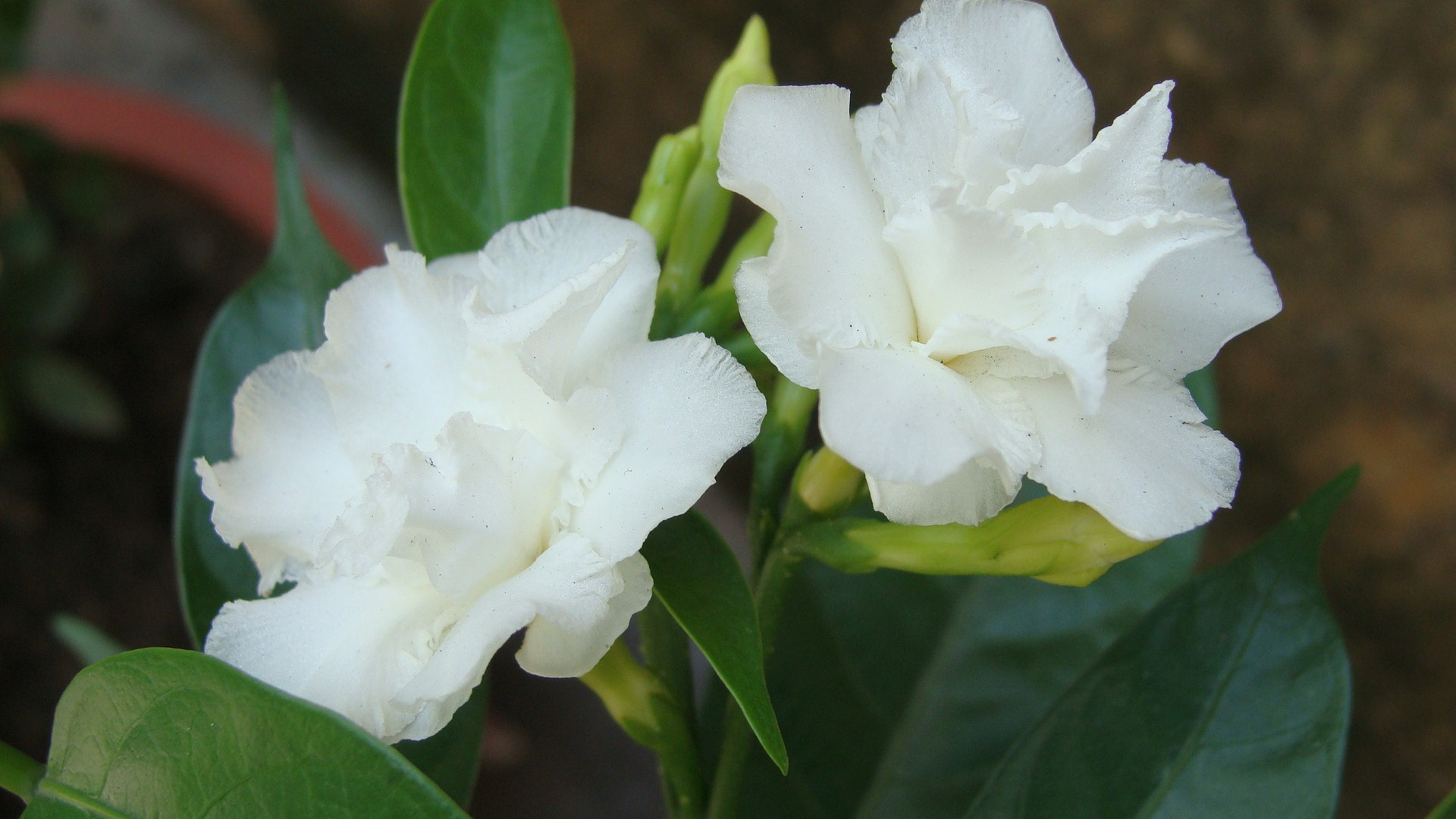 White Flowers Hd Background