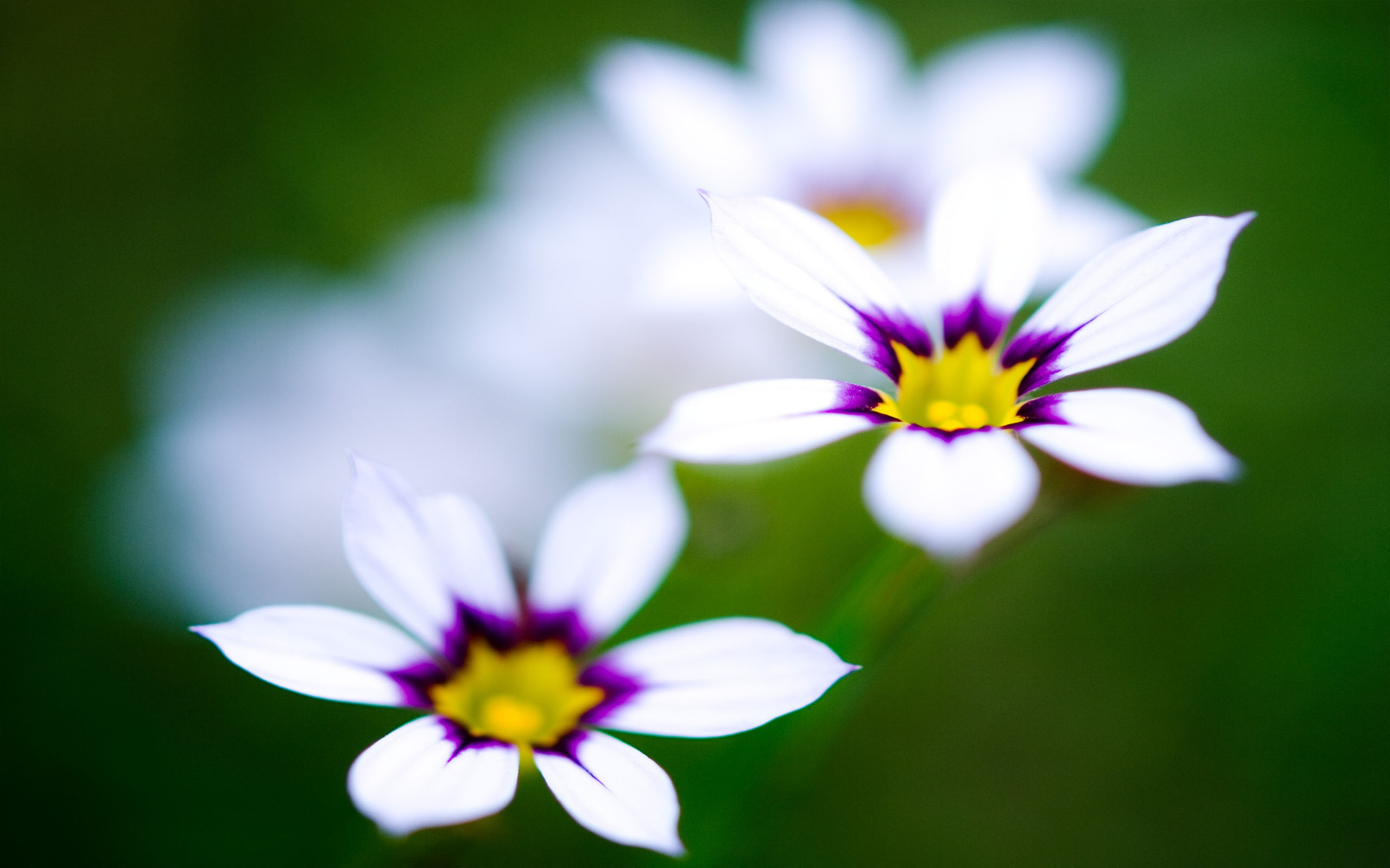 White Flowers Wallpapers Hq