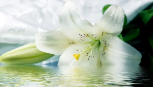 White Flowers Wallpapers And Backgrounds