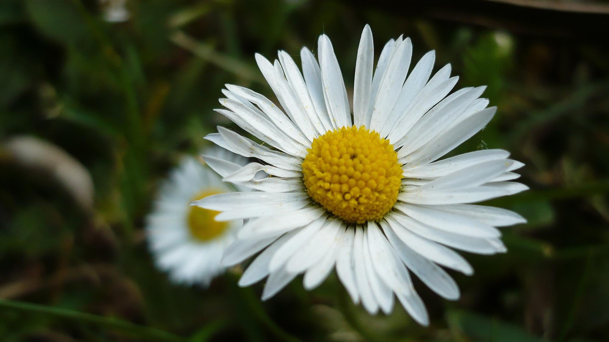 White Flowers For Desktop Background