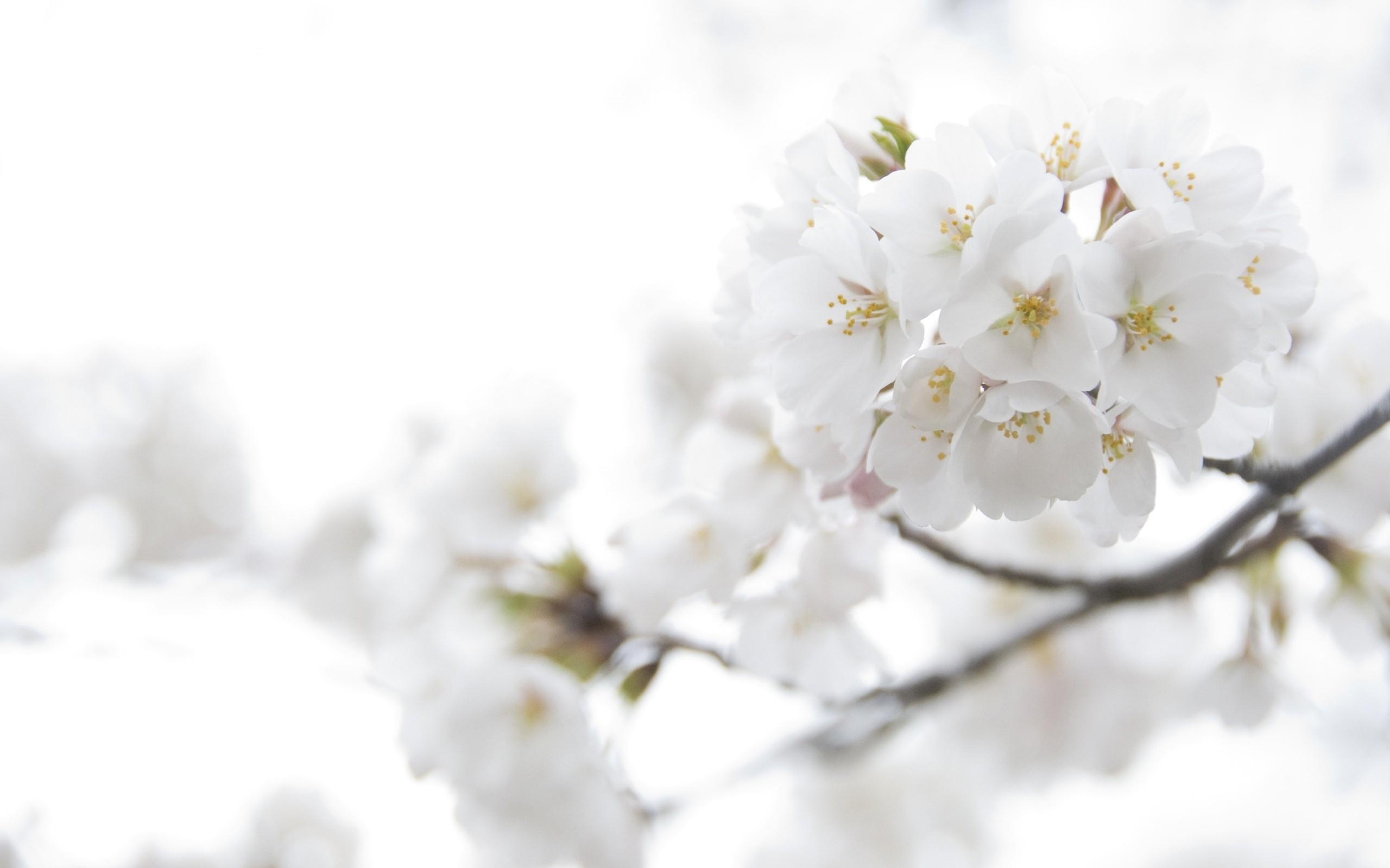 White Flowers Full Hd