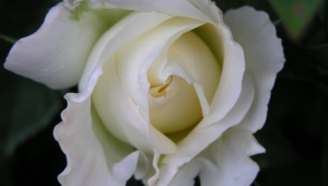 White Rose Computer Backgrounds