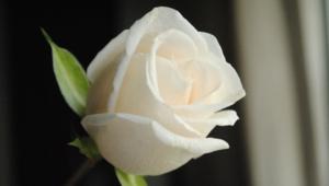 White Rose Computer Wallpaper