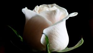 White Rose Desktop
