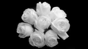 White Rose Desktop Wallpaper