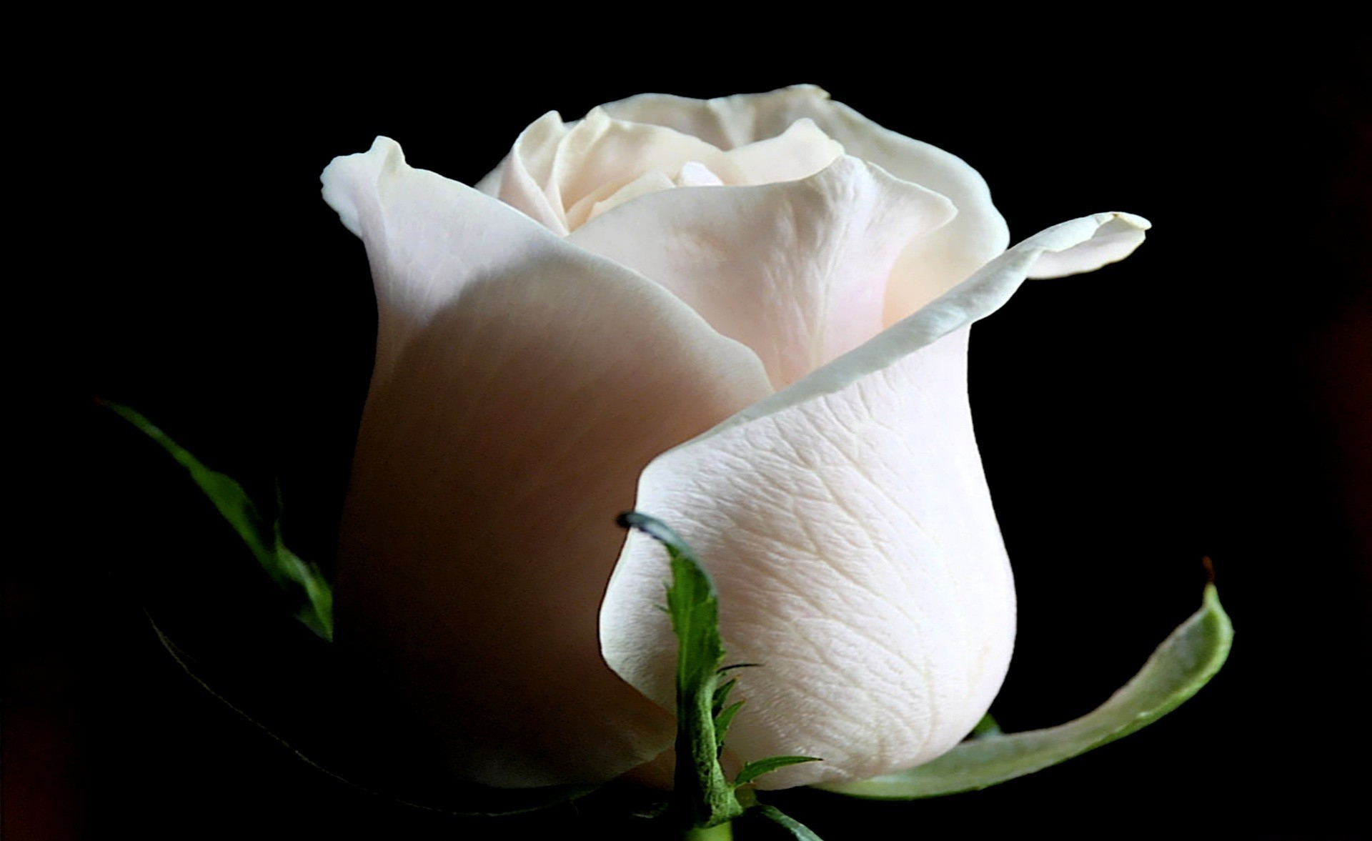 White Rose Desktop