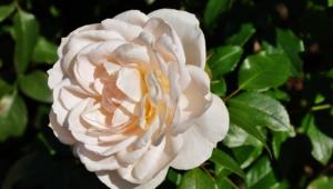 White Rose Download