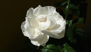 White Rose Download Free Backgrounds Hd