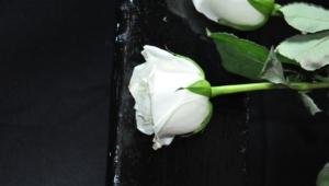 White Rose Free Download