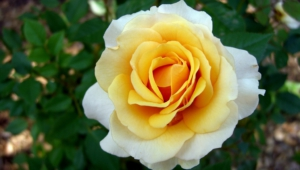White Rose Free Hd Wallpapers