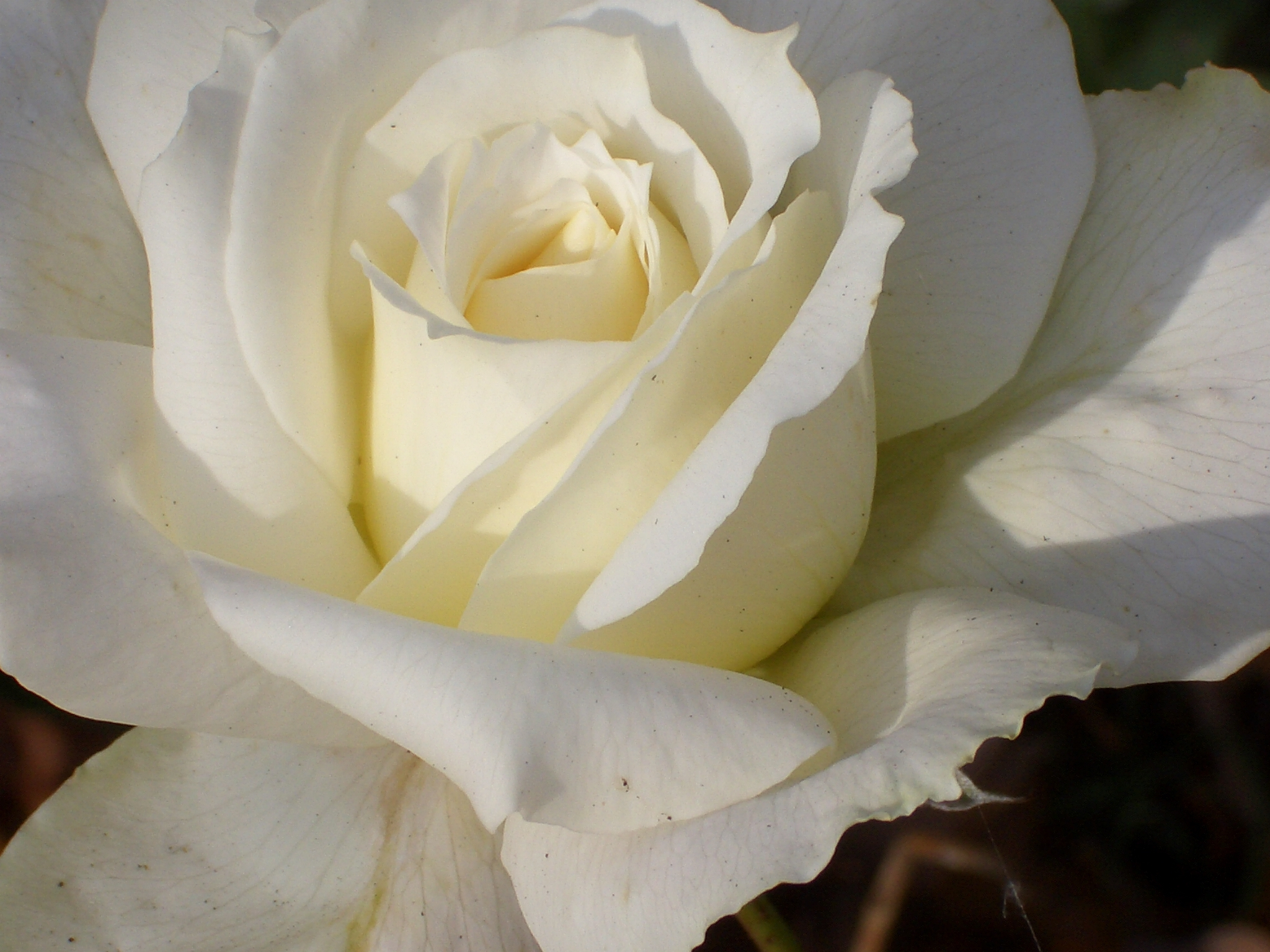 White Rose Hd Background