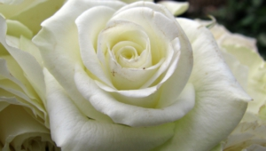 White Rose Hd Wallpaper