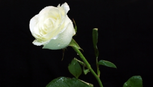 White Rose High Definition Wallpapers