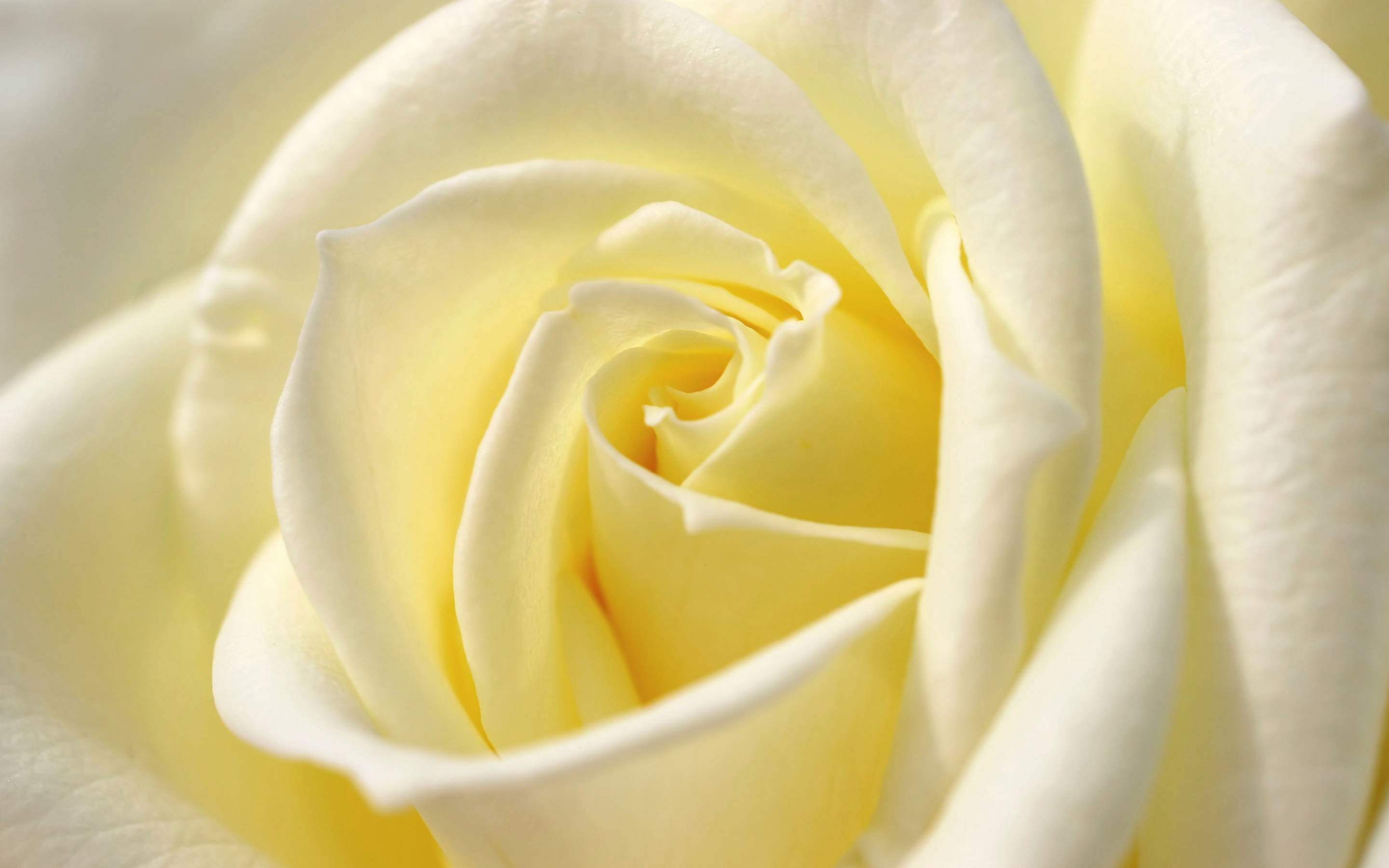 White Rose High Definition