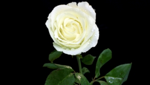 White Rose High Quality Wallpapers