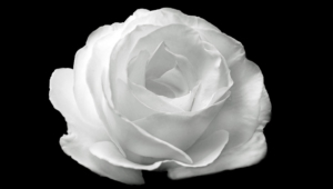White Rose Wallpaper For Computer
