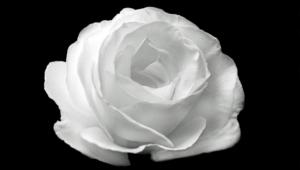 White Rose Wallpaper For Computer