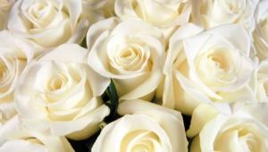 White Rose Wallpaper For Laptop