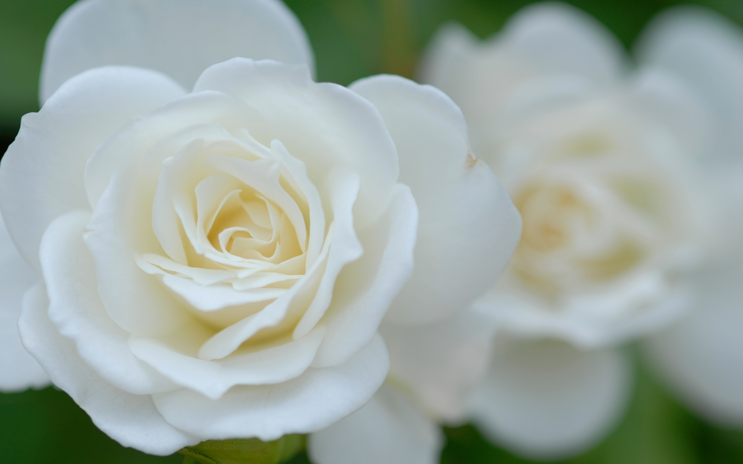 White Rose Wallpapers Hq