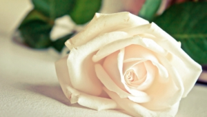 White Rose Wallpapers And Backgrounds