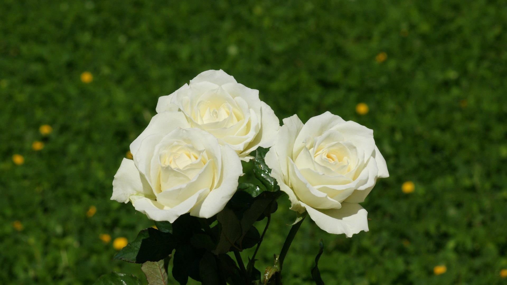 White Rose For Desktop Background