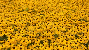 Yellow Flowers Computer Wallpaper