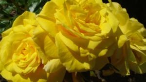 Yellow Flowers Desktop Wallpaper