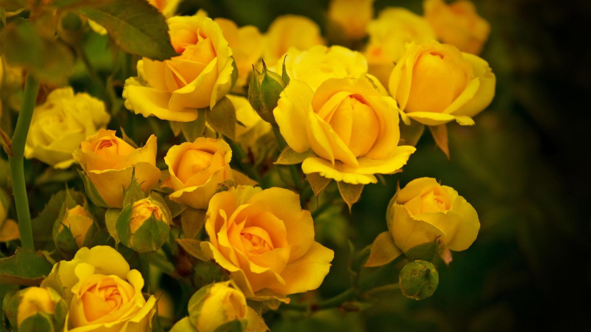 Yellow Flowers Hd Desktop